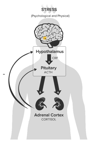 hpa axis stress response