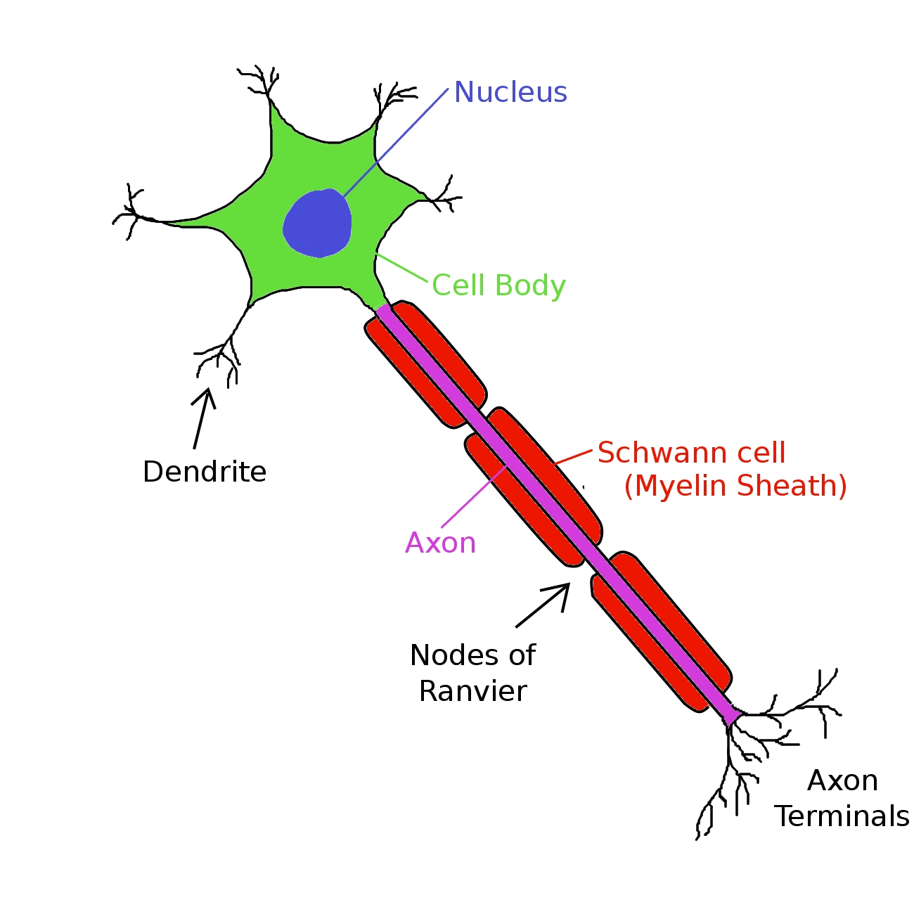 normal Neuron